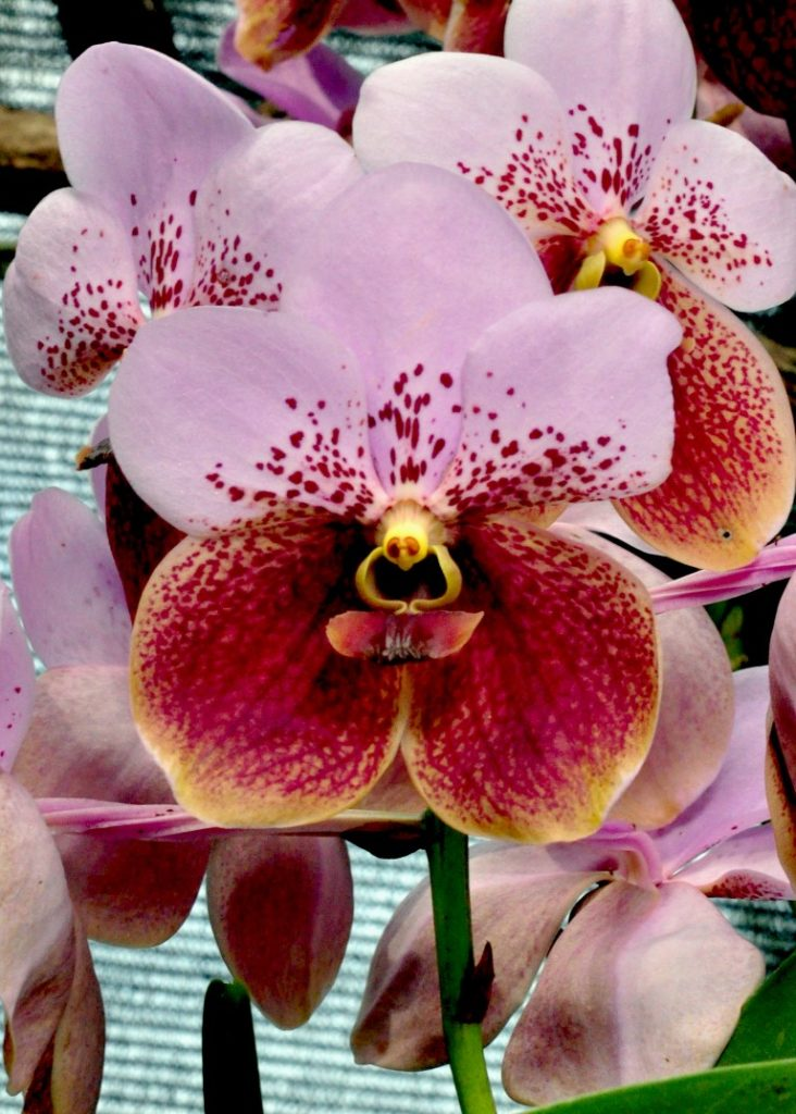 Queen of all Orchids' (Medium)